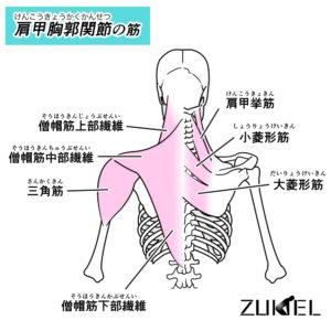 肩甲骨周囲の筋肉イラスト